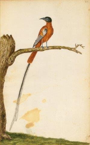 03 - Andries Beeckman, Madagaskar-paradijsmonarch © Parijs BnF Arsenal.jpg
